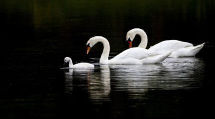 swan-wonkhe-ECU