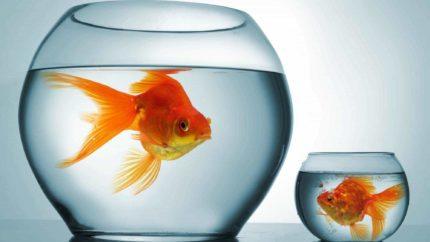 wonkhe-two-goldfish