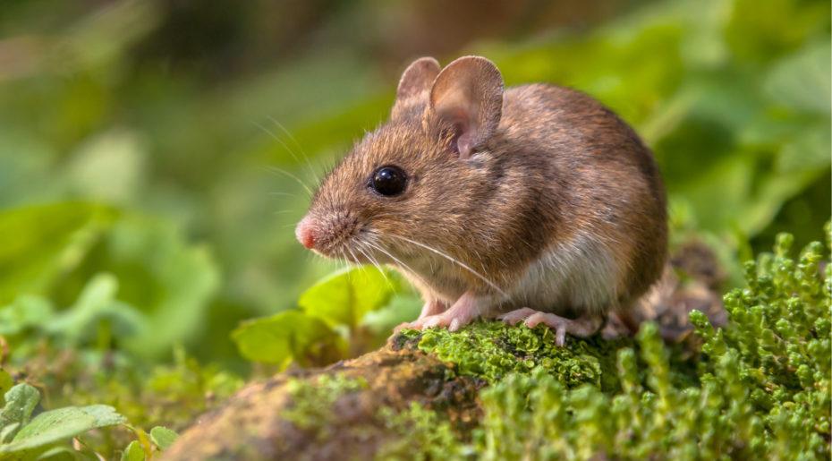 Wonkhe mouse