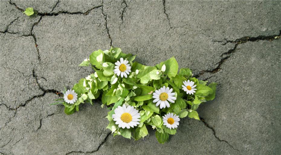 wonkhe-daisies-through-concrete