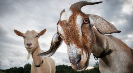 wonkhe-goats-goats-goats-goats-goats-goats
