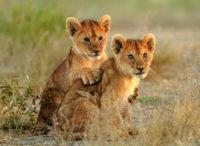 wonkhe_leo_lion_cubs