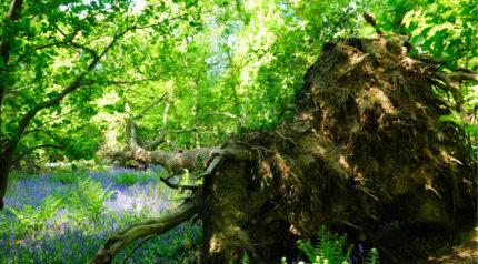 Wonkhe fallen oak