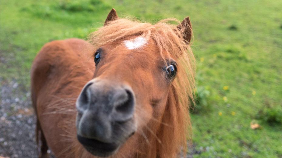 wonkhe-miniature-horse