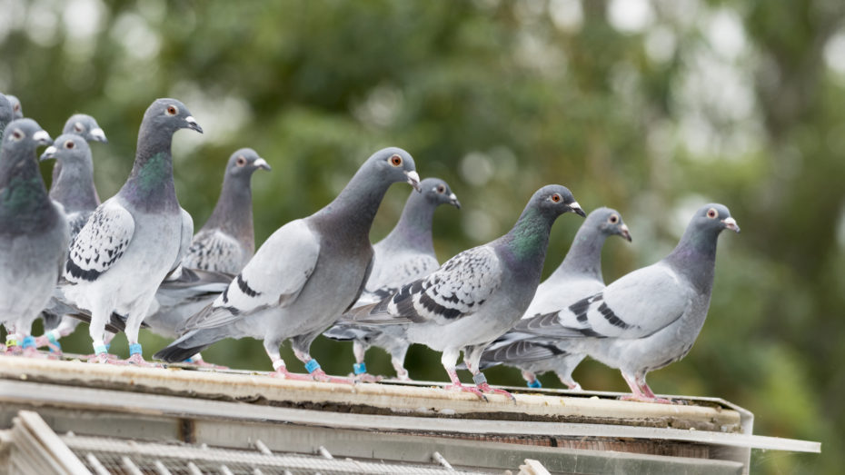 wonkhe-pigeon-convocation